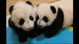 The male giant panda cub (left) and his female twin sister (right) seen in a Toronto Zoo handout photo.