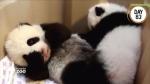 Toronto Zoo pandas, names