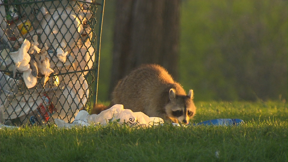 A raccoon scavenges near a garbage bin a Toronto park.