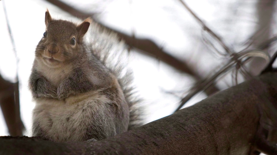 A squirrel sits in a tree stripped of it's fall leaves in Toronto in this file photo.  THE CANADIAN PRESS/Chris Young