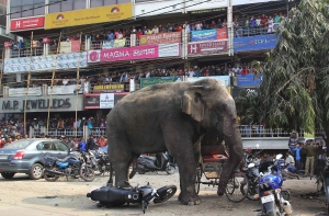 A wild elephant that strayed into the town stands after authorities shot it with a tranquilizer gun at Siliguri in West Bengal state, India, Wednesday, Feb. 10, 2016. The elephant had wandered from the Baikunthapur forest on Wednesday, crossing roads and a small river before entering the town. The panicked elephant ran amok, trampling parked cars and motorbikes before it was tranquilized. (AP Photo)