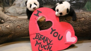 Pandas at the Toronto Zoo hold up a Valentine's Day sign in this image released by the zoo on Valentine's Day, Sunday February 14, 2016. (Handout)