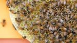 Honey bees congregate on a honeycomb as their hives receive routine maintenance in this file photo. (AP /John Minchillo)
