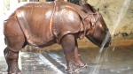 A rhino calf born at the Toronto Zoo is shown in this handout photo. (Toronto Zoo)
