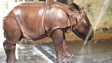 rhino calf