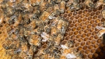Bees are seen on a frame from a hive in Karen Hickey's backyard Wednesday, April 20, 2016 in Montreal. THE CANADIAN PRESS/Paul Chiasson
