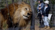 A former circus lion scratches its head against a tree inside an enclosure at Emoya Big Cat Sanctuary in Vaalwater, northern, South Africa, Sunday, May 1, 2016. Thirty-three lions rescued from circuses in Peru and Colombia are heading back to their homeland to live out the rest of their lives in a private sanctuary in South Africa. The operation is the largest ever airlift of lions, organized and paid for by Animal Defenders International. (AP Photo/Themba Hadebe)
