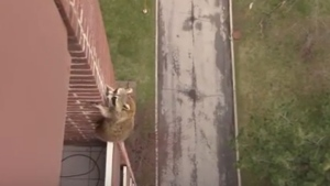 A raccoon scales the side of a building from a 10th floor balcony in Hamilton. (SkedaddleWildlife /YouTube)