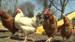 The city of Kitchener hears input from residents on whether to allow backyard chickens.
