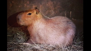 A capybara found by Toronto Parks and Rec. staff on June 28 seen in a handout photo.