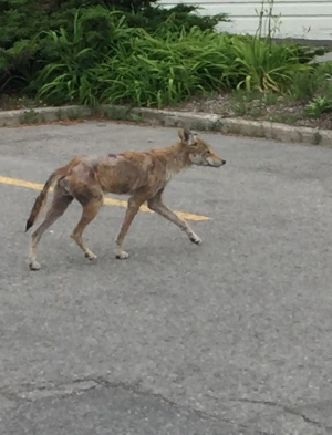 A coyote that was spotted near Military Trail and Morningside Avenue in Scarborough in June is seen in this handout photo.