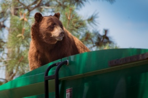 In this July 18, 2016 photo provided by Evan Welsch, a bear hitches a ride on top of a garbage truck in Los Alamos National Labs in Los Alamos, N. M. (Evan Welsch via AP)