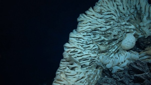 This Aug. 12, 2015 file photo provided by NOAA's Office of Exploration and Research/Hohonu Moana 2015 shows a massive sponge photographed at a depth of about 7,000 feet in the Papahanaumokuakea Marine National Monument off the shores of the Northwestern Hawaiian Islands. (NOAA Office of Exploration and Research/Hohonu Moana 2015 via AP)