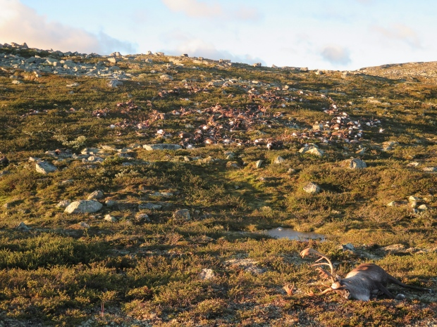 Lightning Strike Kills Hundreds of Wild Reindeer in Norway