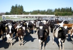 In this Aug. 28, 2015, file photo, cows stand in a pen before they are milked on a dairy farm near Carterton, New Zealand. (AP Photo/Nick Perry, File)