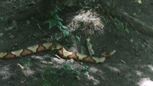 A snake, which has been identified as a copperhead, is seen in this photograph tweeted by the Town of Ajax on Wednesday, Aug. 31, 2016. (Twitter/@townofajax)