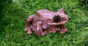 The last known Rabbs' fringe-limbed tree frog is pictured. (Atlanta Botanical Garden /Facebook)