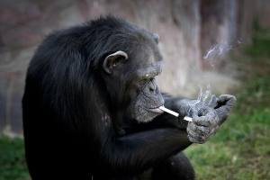 "Azalea, whose Korean name is ""Dallae"", a 19-year-old female chimpanzee, lights one cigarette from another at the Central Zoo in Pyongyang, North Korea on Wednesday, Oct. 19, 2016. According to officials at the newly renovated zoo, which has become a favorite leisure spot in the North Korean capital since it was re-opened in July, the chimpanzee smokes about a pack a day. They insist, however, that she doesn't inhale. (AP Photo/Wong Maye-E)"