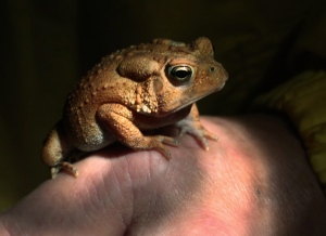 A toad is pictured in Chesterfield County, Va., June 11, 2014. (AP Photo/Richmond Times-Dispatch, P. Kevin Morley)