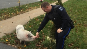 Cst. Cody Schultz is pictured with a pig called 'Kevin Bacon'. (Halifax Regional Police /Facebook)