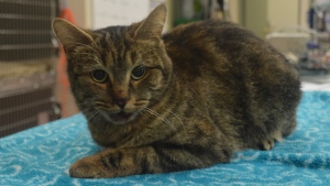 Ellie the cat is pictured in this photo distributed by the Lincoln County Humane Society Tuesday November 22, 2016.  (Handout)