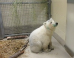 An orphaned polar bear cub is pictured after arriving at its new home at a Winnipeg zoo (assiniboineparkzoo /Facebook)