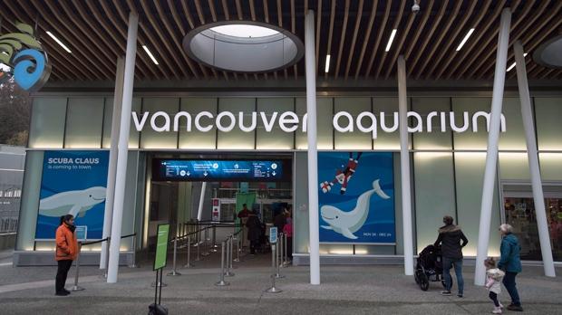 Things looking up for ailing beluga Aurora, aquarium says