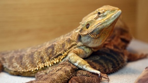 A bearded dragon is seen at the London Pet Show in Excel, Britain on May 9, 2015. (Paul Brown/REX/Shutterstock)