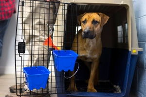 A dog named Wiley arrives at the St. Hubert's Animal Shelter in Madison, N.J. and slowly exits his cage on Tuesday, April 26, 2016. Humane Society International rescued the dogs from a dog meat farm in Wonju, South Korea this week, the fifth such farm that the organization has closed down as part of its campaign to end the dog meat trade. A total of 171 dogs are being flown to shelters and rescues in the United States and Canada for a second chance at life. (Craig Ruttle/AP Images for Humane Society International)