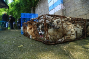 In this undated handout photo, cages of dogs destined for Canada sit in a walled-in area after they were rescued from delivery to a dog meat festival in Yulin, China, by an animal protection organization. THE CANADIAN PRESS/HSIC