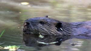 A beaver is pictured in this file photo.   (AP Photo/Manuel Valdes)