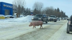 A pig blocks a road in this image shared online by the Altona Police Service (Altona Police Service/ Facebook)
