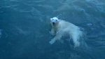 International, polar, bear