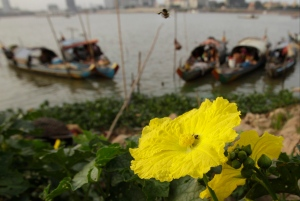 A bee rests on a luffa gourd flower near the water line next to anchored fishing boats on the Mekong River bank near Phnom Penh, Cambodia, Friday, Feb. 24, 2017. (AP Photo/Heng Sinith)
