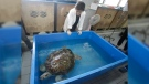 Head of Chulalongkorn University's veterinary medical aquatic animal research center Nantarika Chansue watch 25-year-old green sea turtle 'Bank' swim in pond as part of rehabilitation treatment in Bangkok, Thailand, Friday, March 10, 2017. (AP / Sakchai Lalit)