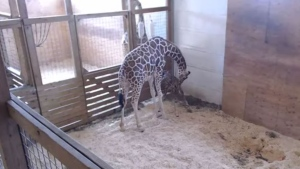 April the giraffe tends to her newborn calf in this image from a YouTube live stream of the birth Saturday April 15, 2017.  (Animal Adventure Park /YouTube)