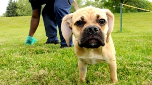 A pet owner cleans up after his 6 1/2 month old puggle (pug/beagle) puppy in the dogwalk area of Roseville Estates North on Thursday morning, May 17, 2012.  (AP Photo/Pioneer Press, John Doman)
