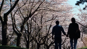 A couple walk down a hill under a canopy of flowering Japanese Cherry trees in Toronto's High Park on Friday April 30, 1999. (CP PHOTO/Frank Gunn)