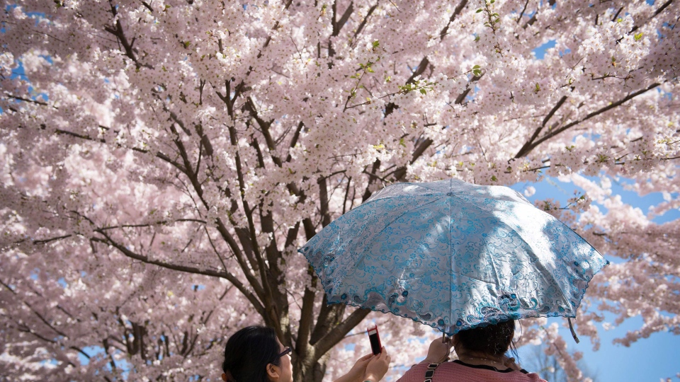 Two women take photos of cherry blossoms at Toronto's High Park Sunday, May 5, 2013. THE CANADIAN PRESS/Graeme Roy