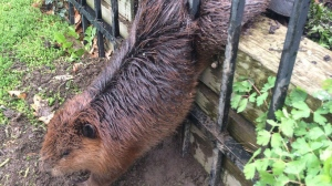A beaver is trapped in a wrought iron fence in a handout photo provided by the City of Hamilton. The beaver was freed by the soapy hands of a municipal employee. (City of Hamilton)