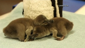 The London Zoo welcomed two new members. The baby penguin chicks hatched on Easter. (London Zoo)