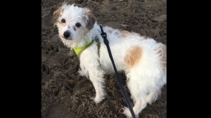Police have released this photo of missing dog Mary. The dog was last seen near Pape and Danforth avenues. (Toronto Police Service/ handout)
