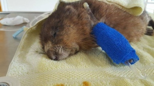 George the muskrat is shown in a photo from the Facebook page of Soper Creek Wildlife Rescue, in Clarington, Ont.