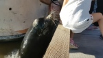 A Sea Lion is seen pulling a young girl into the water near a Vancouver area wharf. (YouTube/ Michael Fujiwara)