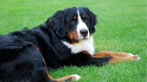 A Burmese mountain dog is seen in this file image.