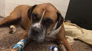 A dog found buried on a property on Montreal's South Shore is currently in stable condition. (Photo via SPCA Monteregie)
