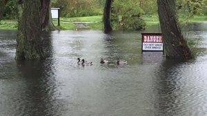 Ducks and carp have overtaken swaths of flooded parkland on Toronto Islands as it gears up for a different summer due to rising lake levels. (CP24)