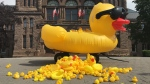 A pile of rubber ducks is pictured outside Queen's Park Monday June 12, 2017 in protest over the rental of an enormous rubber duck for Canada 150 celebrations. (Ken Enlow/ CP24)