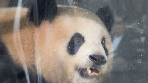 Giant panda Jiao Qing looks out of its container during a presentation after the arrival from China at the airport Schoenefeld near Berlin, Saturday, June 24, 2017.  (AP Photo/Markus Schreiber)