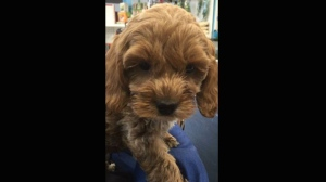 A nine-week-old apricot-coloured Cockapoo puppy was stolen from a pet store in Barrie on Sunday. (Barrie Police Services)